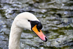 White swan on the forest lake Royalty Free Stock Photo