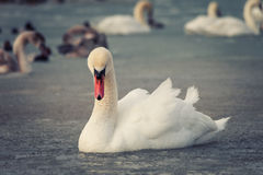 White swan in the freezing water Stock Images