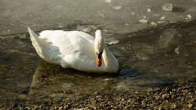 White swan on frozen lake drinking water II. Single white swan swimming in the icy water on the frozen lake drinking cold water royalty free stock image