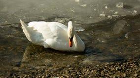 White swan on frozen lake drinking water II Royalty Free Stock Image