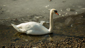 White swan on frozen lake II. Single white swan swimming in the icy water royalty free stock images