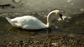 White swan on frozen lake. Single white swan swimming in the icy water stock photo