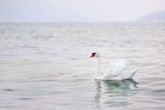 White swan in Garda lake, Italy Royalty Free Stock Photos