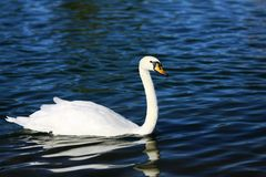 White swan (genus cygnus) Stock Photo
