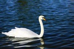 White swan (genus cygnus) Stock Photo