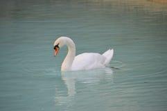 White Swan Gliding On Lake Stock Photos