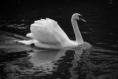 White swan gliding on lake in black and white Stock Photo