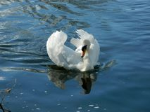 A White Swan gliding on the River Thames in Surrey. A beautiful white mute swan gliding across the water on a sunny day Royalty Free Stock Photos