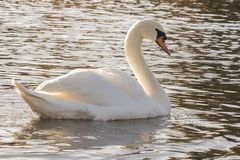 A mute swan on Southampton Common royalty free stock images