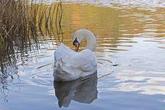 A white swan in golden light  on Southampton Common. A mute swan in golden light by the reeds on the Ornamental Pond on Southampton Common, Hampshire, UK Royalty Free Stock Photos