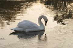A mute swan on Southampton Common stock image