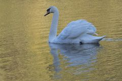 White swan in golden light at Southampton Common. A white swan in golden light on the Ornamental Pond at Southampton Common, Hampshire, UK stock images