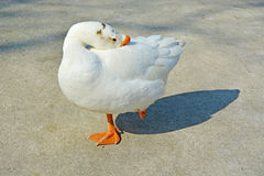 White swan goose Stock Photo