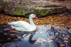 White swan / goose swim on autumn lake with fallen leaves. White swan / goose in autumn pond with yellow leaves and beautiful reflection royalty free stock photography