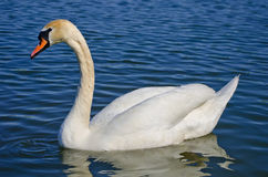 White swan. Graceful white swan swimming in small lake Stock Images