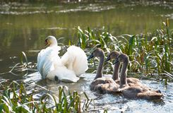 A white Swan with gracefully raised wings and three gray Chicks royalty free stock photography