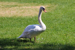 White Swan on Grass Royalty Free Stock Images
