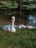 White Swan and Gray Ducklings in Lake& x27;s Edge. White Swan and Gray Ducklings in Mosigo Lake& x27;s Edge - Italian Dolomites Alps Scenery royalty free stock photos