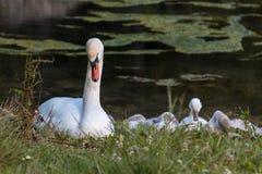 White Swan and Gray Ducklings in Lake& x27;s Edge. White Swan and Gray Ducklings in Mosigo Lake& x27;s Edge - Italian Dolomites Alps Scenery royalty free stock image