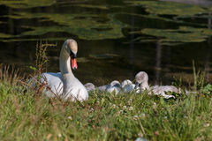 White Swan and Gray Ducklings in Lake& x27;s Edge Stock Images