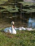White Swan and Gray Ducklings in Lake& x27;s Edge. White Swan and Gray Ducklings in Mosigo Lake& x27;s Edge - Italian Dolomites Alps Scenery stock image
