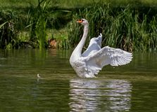 White Swan on Green Body of Water Stock Photo