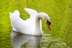 White swan on green lake water reflecting the foliage in sunny day, swans on pond. Royalty Free Stock Images