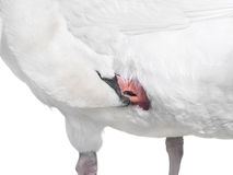 white swan grooming   Royalty Free Stock Photo