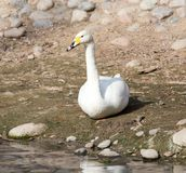White swan on the ground in nature.  Royalty Free Stock Images