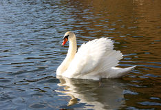 The white swan has fluffed up wings Royalty Free Stock Photo