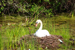 White Swan. Hatching its eggs in the nest Stock Image