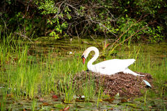 White swan hatching its eggs. In the nest Stock Image