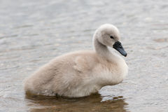 White Swan hatchling. Stock Photo