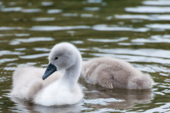 White Swan hatchling. Royalty Free Stock Photography