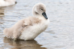 White Swan hatchling. Stock Images