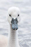 White Swan hatchling. Stock Image