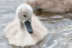White Swan hatchling. Royalty Free Stock Photos