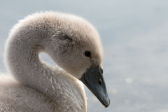 White Swan hatchling. Royalty Free Stock Images