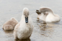 White Swan hatchling. Royalty Free Stock Photo