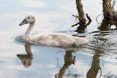 White Swan hatchling swimming Stock Photos