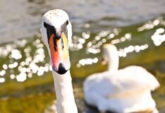 White Swan head closeup Stock Image