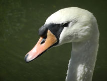 White swan head. A against a dark background Stock Image