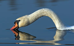 White swan. Head reflection in water Stock Photos