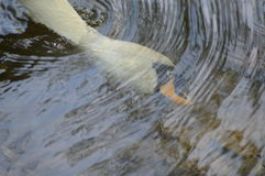 White swan head under water. circle of water. 