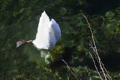 White swan, head underwater Stock Photography
