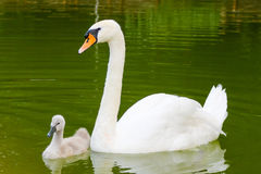 White swan and her baby Royalty Free Stock Photo