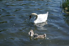 A white swan with her cygnets swimming in a lake Stock Images