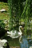 White swan hiding behind a willow. Lago Maggiore, Italy. stock images