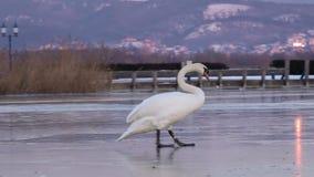 White swan stock video