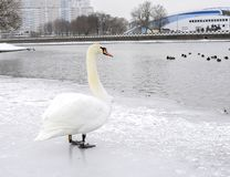 White Swan on the ice in the center of the city stock photo